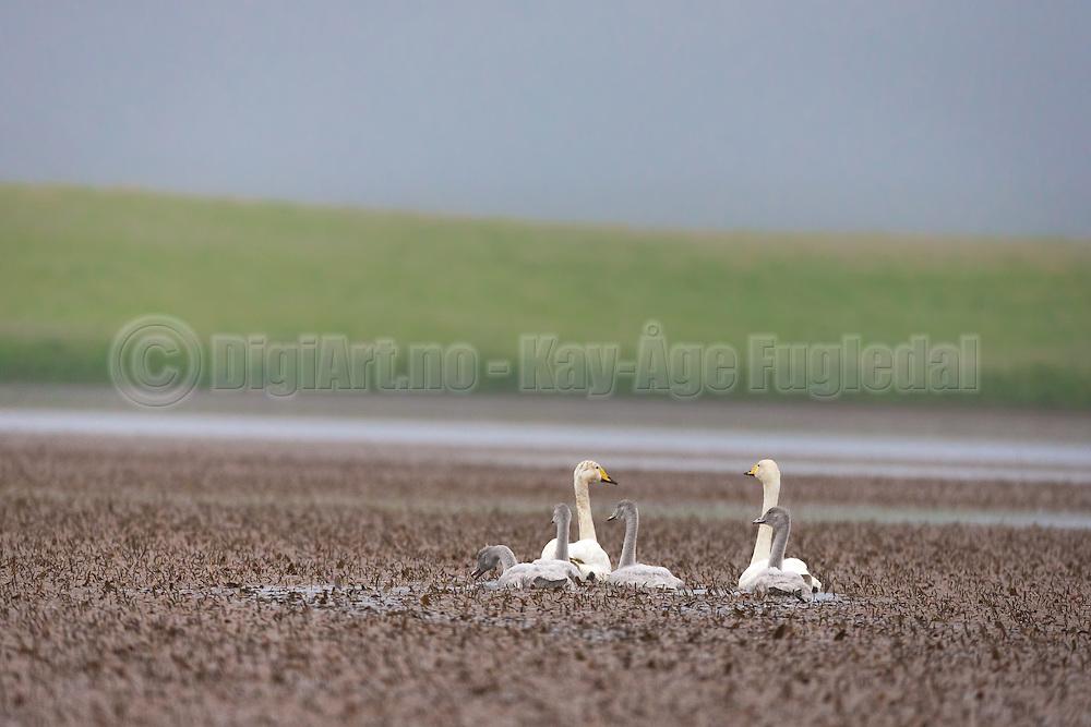 Swan family swimming in a lake, Iceland | Svanefamilie som svømmer i en sjø, Island
