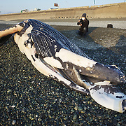 Humpback whale calf (Megaptera novaeangliae) that washed ashore on 3 January 2012 in Odawara, Japan. Measured 6.87 meters long and was male. Cause of death unknown. This humpback whale calf is the third smallest one recorded to date that has stranded or washed ashore in Japan. It is the third deceased calf to have been found in the 2011-2012 breeding and calving season.