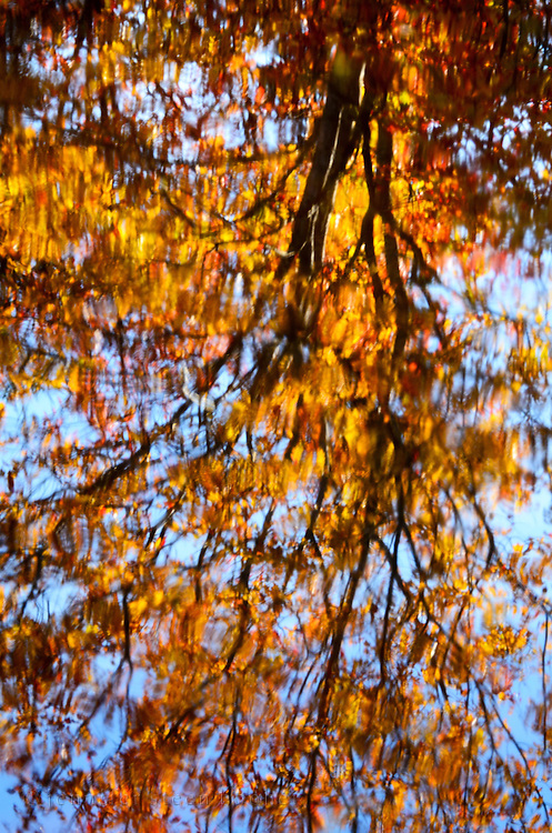 Golden autumn leaves reflected in rippled water, Northeast Creek, Bar Harbor, Maine.