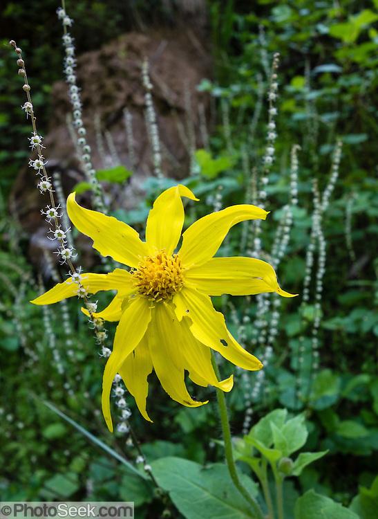 Yellow flower. Ninemile Ridge Trail, Blue Mountains, Umatilla National Forest, Pendleton, Oregon, USA