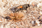Spider hunting wasp (Anoplius viaticus?) with paralysed prey on heathland. Arne, Dorset, UK.