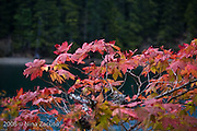 Red leaves, forest