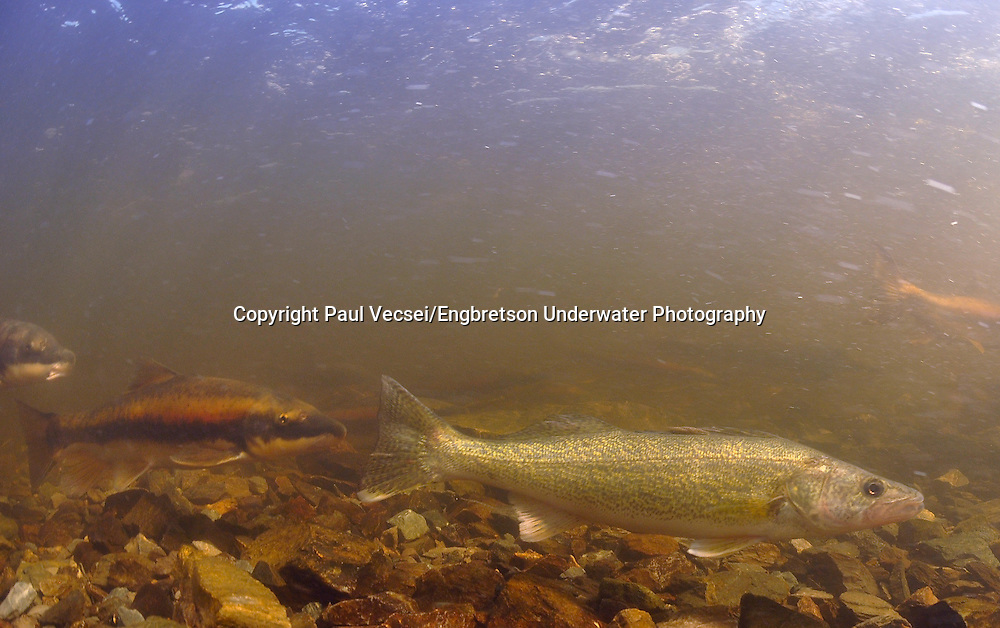 Walleye (with longnose suckers)<br />