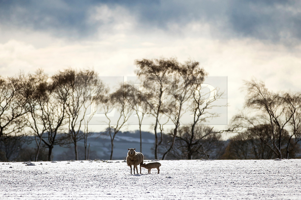 © Licensed to London News Pictures. 29/04/2016. Leeds UK. Picture shows lam's in a snow covered field just outside Leeds this morning. Leeds woke to a covering of snow this morning & is expected to get further snow showers over the weekend. Photo credit: Andrew McCaren/LNP