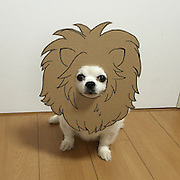 This adorable dog shows off his own Halloween costumes - cute cardboard cut-out masks.<br /> <br /> The ten-year-old chihuahua called Mametaro poses in the masks made by owner Semba, 27, at her home in Japan.<br /> <br /> But rather than scare people, the trick-or-treat pictures have been melting the hearts of people who see them.<br /> <br /> Mametaro has become an online hit with thousands of followers thanks to his not-so-scary exploits.<br /> <br /> Semba said: ''Unfortunately I don't think that Mametaro could scare anybody even if he tried.<br /> <br /> ''I'll be taking him out for Halloween but he's so fluffy and cute that he'd probably just try and lick or cuddle people. <br /> <br /> ''He has gained a lot of new fans with his funny masks. I think he's loving all the attention.''<br /> <br /> Mametaro's include a pumpkin, a star with frowning eyebrows a dragon and a bat with the words 'trick or treat'.<br /> <br /> Other adorable masks include a bike, a crown a 'self-portrait' of himself and a lion's head with large mane.<br /> <br /> Semba added: ''I first had the idea after a conversation with my friend. There's no limit to what we can draw for him.''<br /> ©Exclusivepix Media