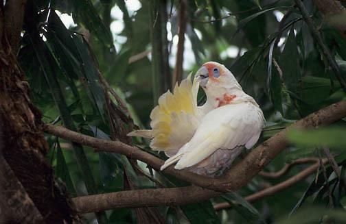 Long-billed Corella, (Cacatua tenuirostris) Southern Australia.
