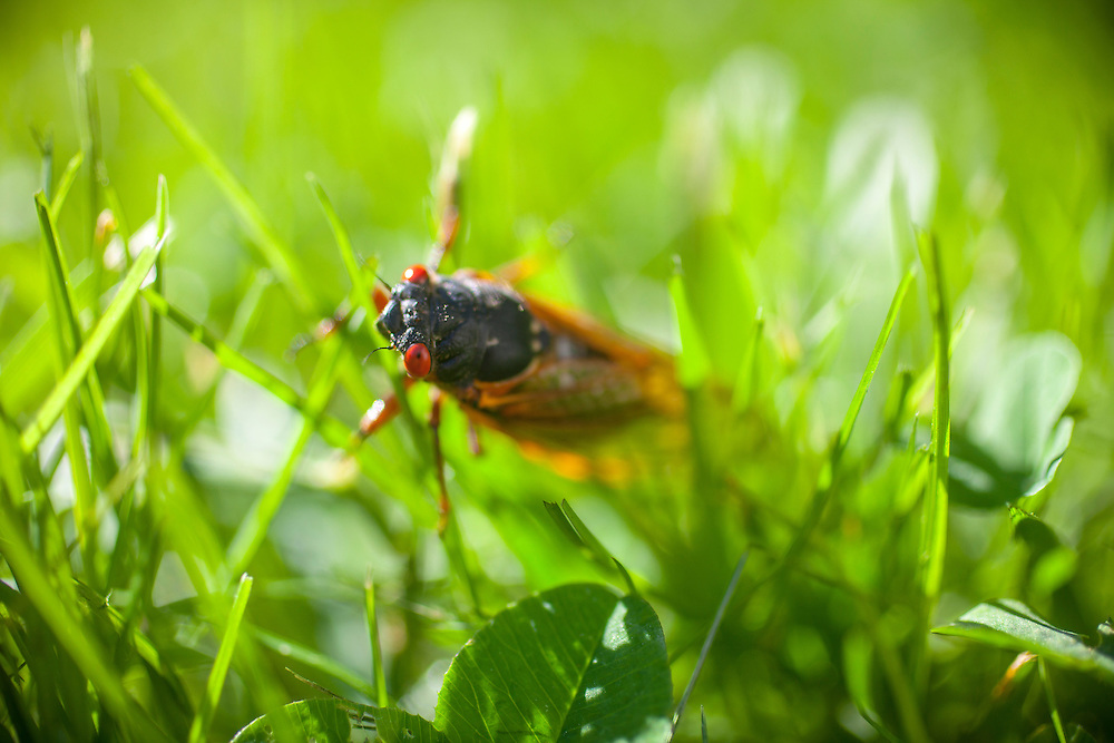 Magicicada is the genus of the 13-year and 17-year periodical cicadas of eastern North America. Although they are sometimes called &quot;locusts&quot;, this is a misnomer as cicadas belong to the taxonomic order Homoptera, while locusts belong to Orthoptera.[2]<br /> Magicicada spp. spend most of their 13- and 17-year lives underground feeding on xylem fluids from the roots of deciduous forest trees in the eastern United States.[3] After 13 or 17 years, mature cicada nymphs emerge at any given locality, synchronously and in tremendous numbers. After such a prolonged developmental phase, the adults are active for about 4 to 6 weeks.[4] The males aggregate into chorus centers and attract females for mating. Within two months of the original emergence, the life cycle is complete, the eggs have been laid and the adult cicadas are gone for another 13 or 17 years. Photo by Justin Ide