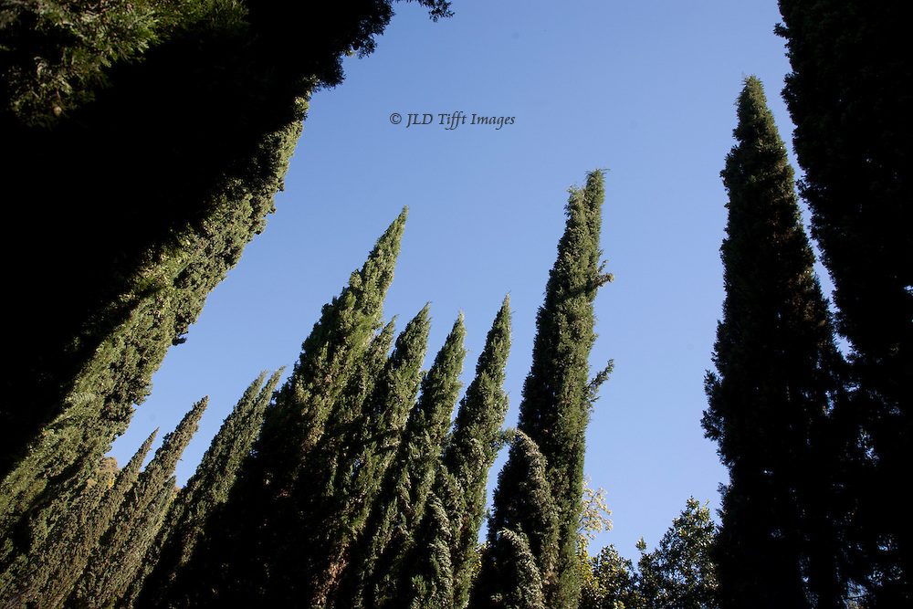 Blue sky making a negative space around a cluster of cypress trees reaching upward.