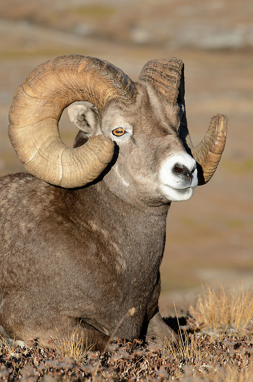 A Bighorn Ram with full a curl - Ovis canadensis - Northern Rockies