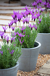 Lavandula stoechas (French lavender, Spanish lavender) growing in galvanised metal pots at the RHS Chelsea Flower Show 2013