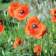Papaver rhoeas, is a species of flowering plant in the poppy family, Papaveraceae. This poppy, a native of Europe, is notable as an agricultural weed