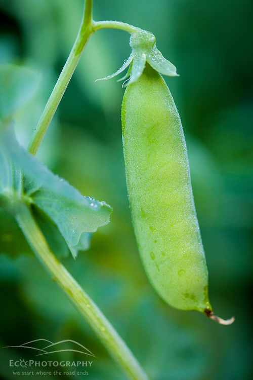 Peas growing in a Portsmouth, New Hampshire garden.