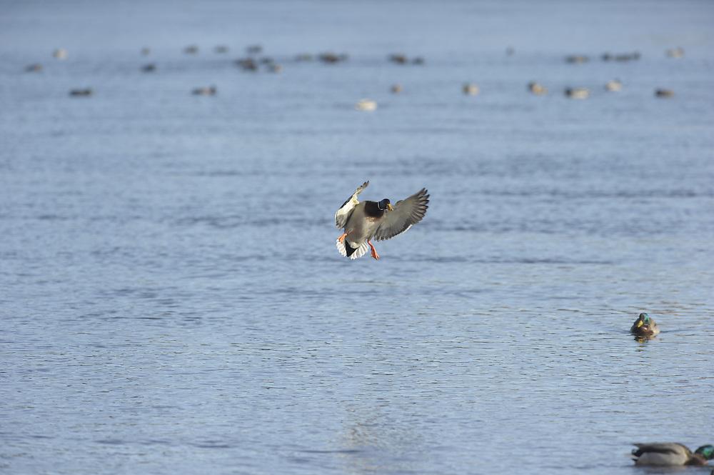 Mallard in flight.