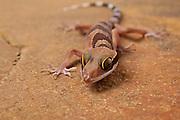 Nightstalker gecko (Cyrtodactylus intermedius). Range: Malaysia and Thailand. © Michael Durham / www.DurmPhoto.com