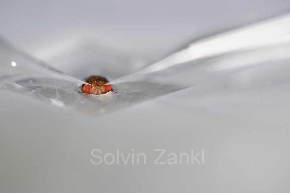 Measureing brain activity on Fruit Fly (Drosophila melanogaster) with electrode  |    Im Wiener Research Institute of Molecular Pathologie (IMP) werden neurologische Untersuchungen an Taufliegen (Drosophila melanogaster) durchgeführt. Das Versuchstier wurde mit Wachs von untern an einer Platte fixiert, die ein passendes Loch für die Schädeloberseite der Fliege hat. Zwei feinste Glaskapillaren deren Spitzen und inneres zur Leitung elektrischer Signale ausgerüstes ist, werden nun in Position gebracht. Um die Elektroden tatsächlich in je eine definiert angesteuerte Nervenzelle einzustechen und deren Aktivität zu messen, muss zuvor noch die obere Schädeldecke der Fliege entfern werden. Der stark vergrößernde Abbildungsmaßstab ruft Erinnerungen an fixierte Affen mit Elektroden im offenen Gehirn hervor.