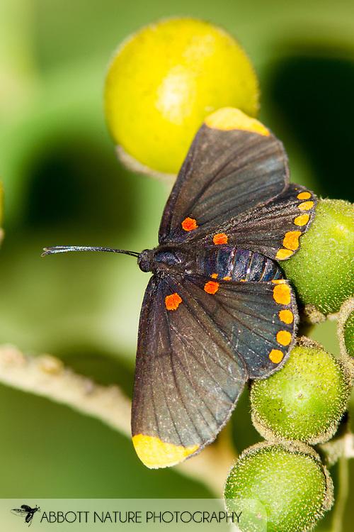 Red-Bordered Pixie (Melanis pixe)<br /> TEXAS: Hidalgo Co.<br /> NABA National Butterfly Center<br /> 8-Nov-2014<br /> J.C. Abbott &amp; K.K. Abbott