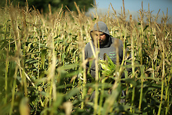 May 27, 2019 - Gaza, gaza strip, Palestine - Palestinian farmers harvest corn at a field in the northern Gaza Strip town of Beit Lahia on May 27, 2019. (Credit Image: © Majdi Fathi/NurPhoto via ZUMA Press)