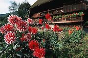 Deutschland, Germany,Baden-Wuerttemberg.Schwarzwald.Gutach, Schwarzwälder Freilichtmuseum Vogtsbauernhof: Vogtsbauernhof, Blumen (Dahlien).Gutach, open air museum: old Black Forest farm house...