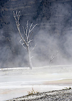 Dead trees and steam on the main terrace of Mammoth Hot Springs, Yellowstone National Park, Wyoming, USA.