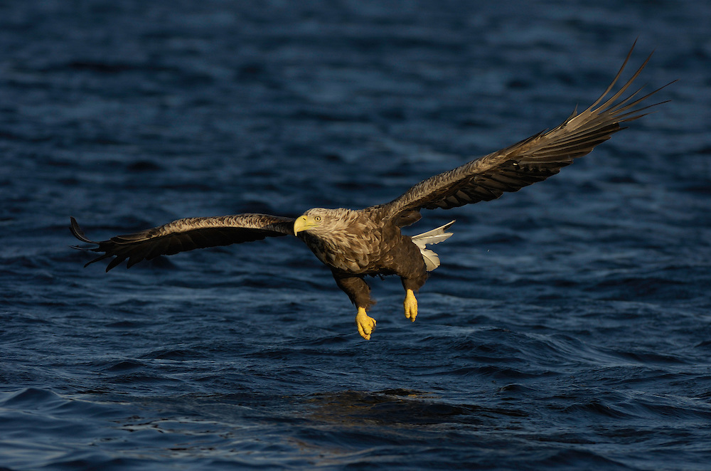 European Sea Eagle, white-tailed sea eagle, Haliaeetus albicilla, Flatanger, Nord-Trondelag, Norway, (havsörn)