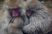 A family of japanese macaques (Macaca Fuscata), or snow monkeys, huddles together for warmth in Jigokudani, Nagano.