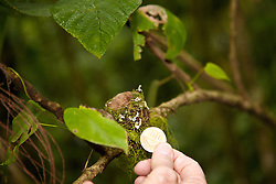 La Fortuna, Alajuela: Comparing the size of a  hummingbird's nest with a 100 centavo piece, Costa Rica.  Rainforest exploration at the Hanging Bridges.