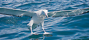 55x25cm print of the ocean's surface reflecting its light on a Gibson's Wandering albatross preparing to land, New Zealand.