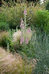 Verbascum 'Merlin' with Stipa tenuissima, Eragrostis 'Wind Dancer', Salix purpurea 'Nancy Saunders' and Phlomis samia