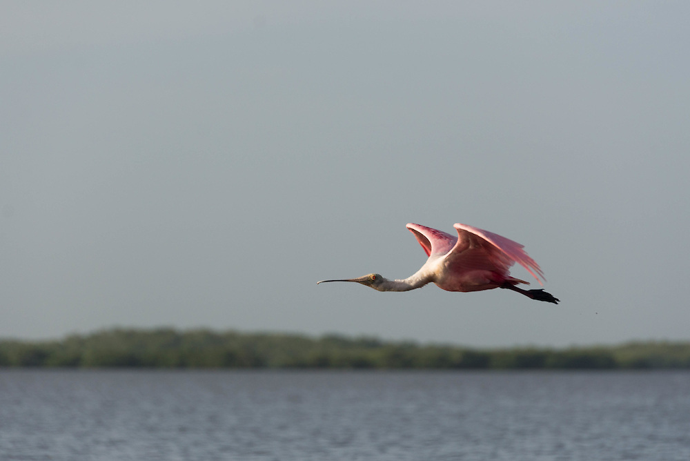A Roseate Spoonbill in flight in Lane Cove in the Florida Everglades