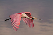 Early morning light catches the stunning colors of a roseate spoonbill