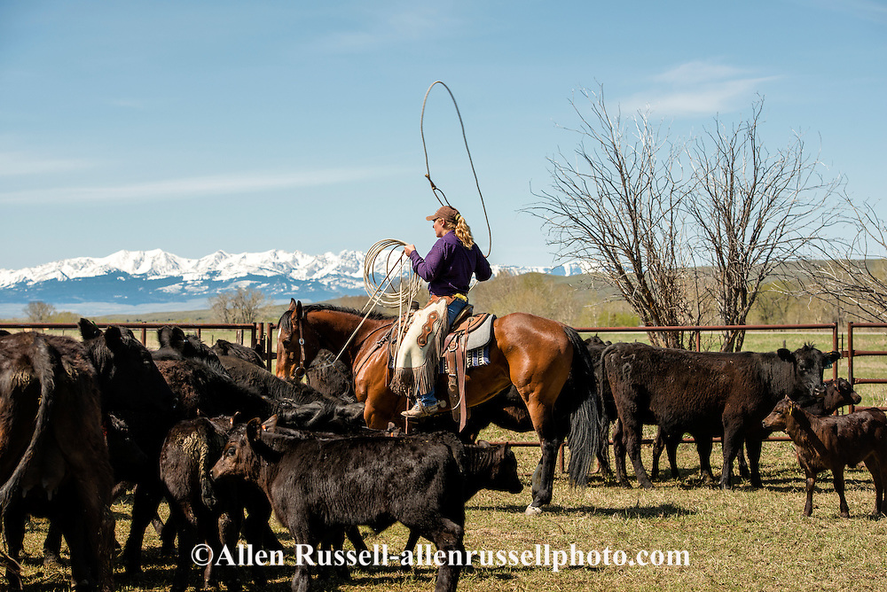 Cowgirls, dragging calves to the fire, branding, Lazy SR Ranch, Wilsall, Montana, Jennie Heath, MODEL RELEASED, PROPERTY RELEASED on rider & horse