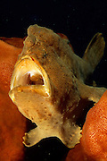 Giant frogfish (Antennarius commerson) with mouth open   Großer Anglerfisch (Antennarius commerson) mit offenem Maul