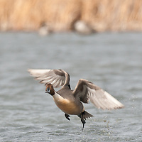 pintail drake taking off over water