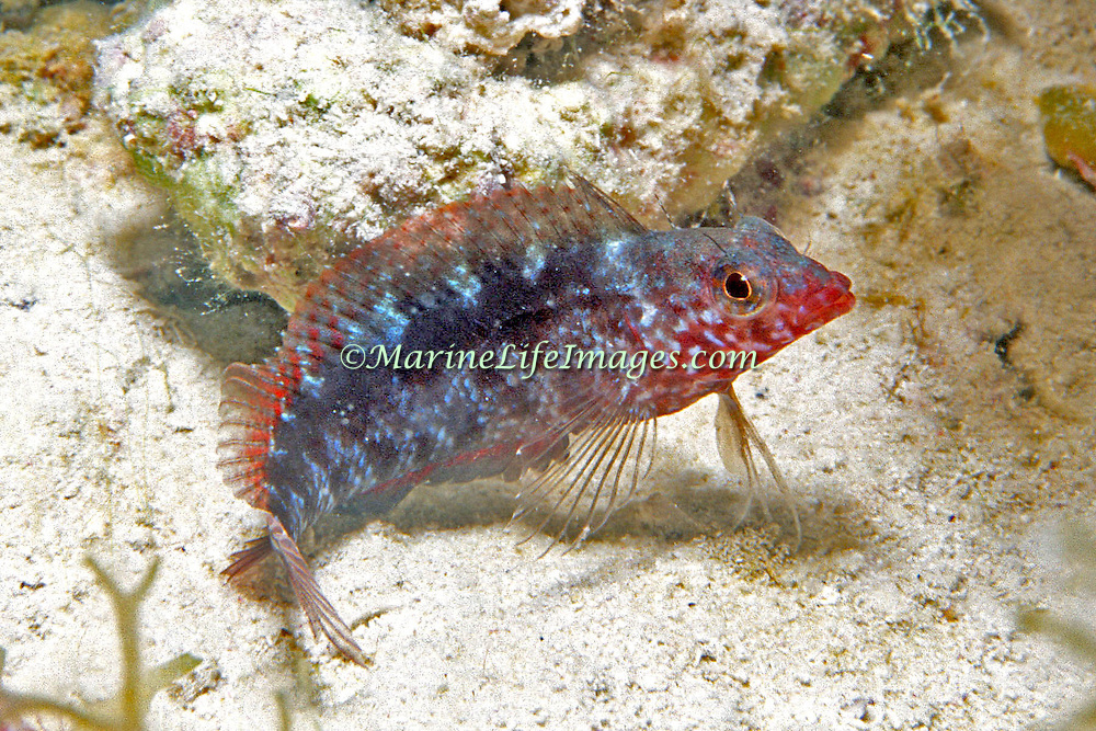 Rosy Blenny inhabit reef tops and adjacent areas of sand and rubble in Tropical West Atlantic; picture taken Dry Tortogus, FL.