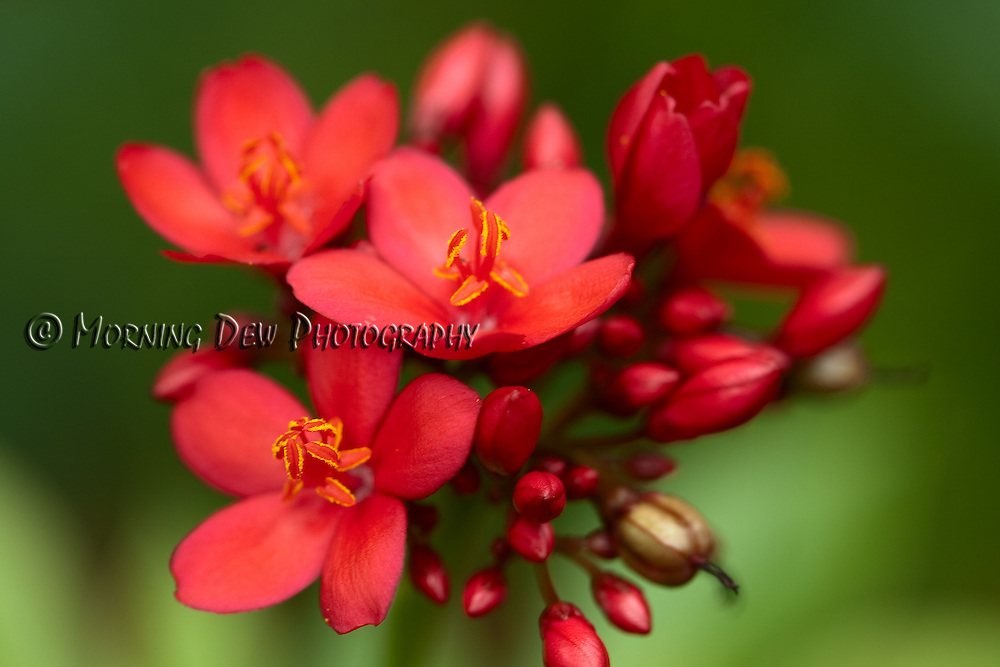 Macro image of a clump of bright red blossoms on a Jatropha bush.