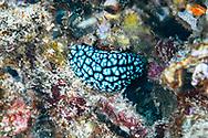 Vesicular sea slug-Phyllidie pustuleuse (Phyllidiella pustulosa), Bali island, Indonesia.