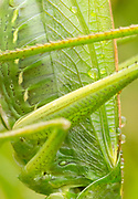 Great green bush-cricket (Tettigonia viridissima) detail. Dorset, UK.