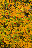 Mountain ash tree in autumn colors in Whitefish, Montana, USA