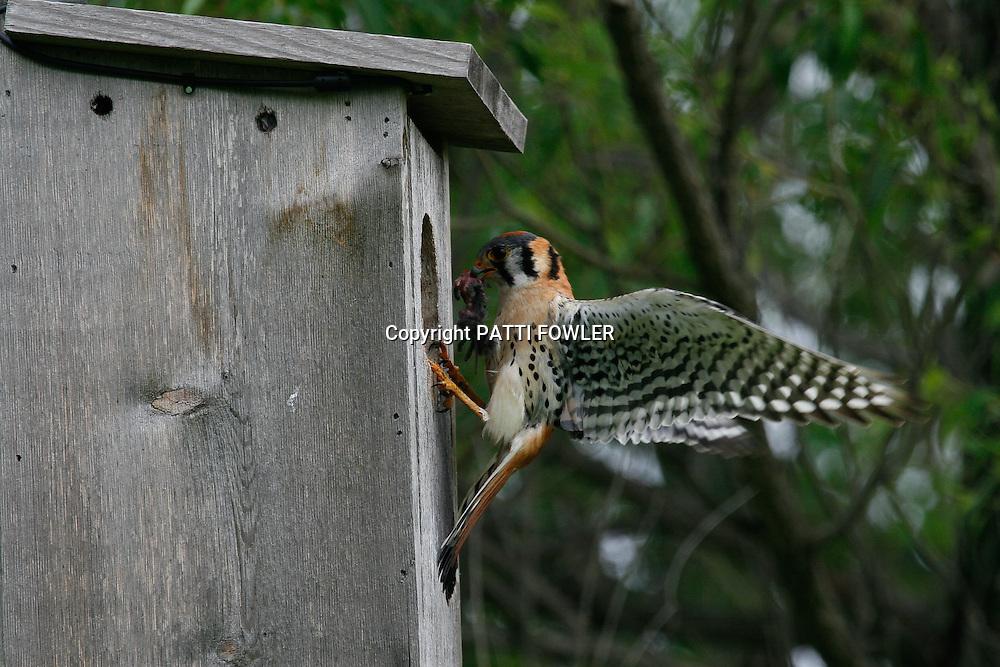male American Kestrel feeding
