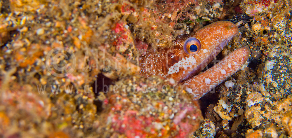 Alberto Carrera, Moray Eeel, Mud Moray, Gymnothorax sp., Lembeh, North Sulawesi, Indonesia, Asia