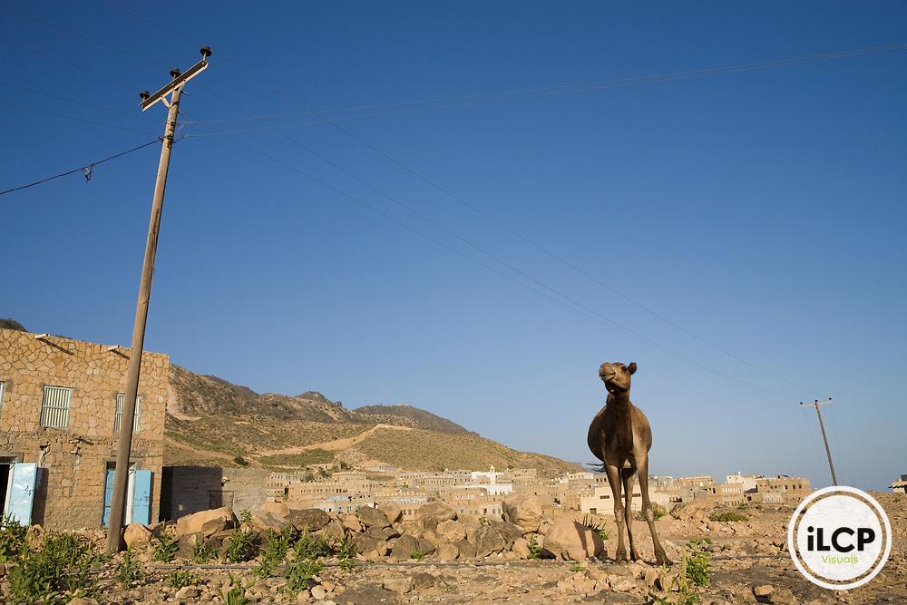 Dromedary (Camelus dromedarius) camel in town, Hawf Protected Area, Yemen