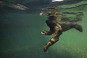 Pygmy three-toed sloth<br /> Bradypus pygmaeus<br /> Swimming in mangrove forest<br /> Isla Escudo de Veraguas, Panama