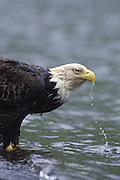 Bald Eagle<br /> Haliaeetus leucocephalus<br /> Drinking<br /> Dutch Harbor, Alaska