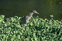Immature Black-crowned Night Heron (Nycticorax nycticorax) along edge of Lake Chapala -  Jocotopec, Jalisco, Mexico