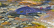 Beautiful salmon swimming free