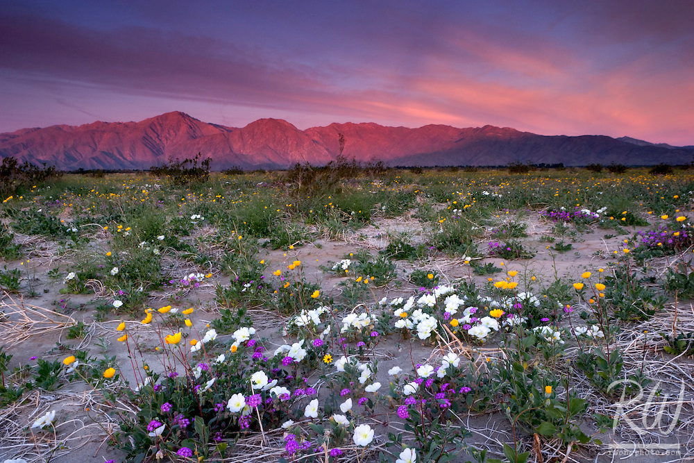 Spring Wildflowers and Sunrise Alpenglow on Santa Rosa Mountains, Anza Borrego Desert State Park, California