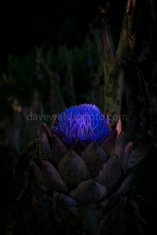 "Globe Artichoke in bloom - the plant can be eaten before the flower bloom. Metaphor - if left unused, it will flower. This mage can be licensed via Millennium Images. Contact me for more details, or email mail@milim.com For prints, contact me, or click ""add to cart"" to some standard print options."