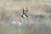 Pronghorn Buck (Antilocapra americana), Western Montana