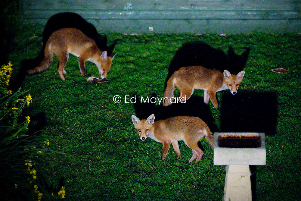 Red fox adult and cubs (vulpes vulpes) forage for food in a city garden at night, Bearwood, Birmingham, England, UK.