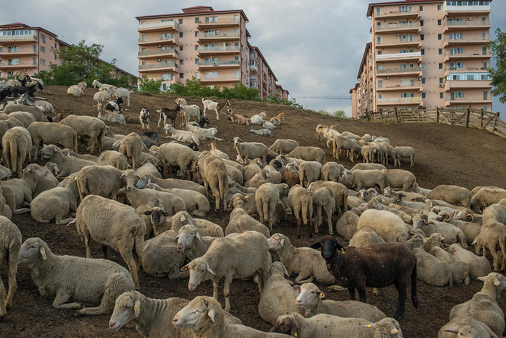 A flock of sheep and goats resting on a farm that is close to a newly built apartment block complex called Comfort City. The farm has been here, at the edge of Bucharest, for decades, the apartments were built 10 years ago. Since then, their inhabitants have maked constant efforts to shut down the farm, complaining about the smell and noise.